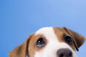 Čipování psů